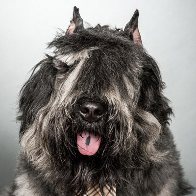 This photo shows Helland Law Group's office dog, Slater, a shaggy dog of the Bouvier des Flanders breed. He wears a necktie and though his eyes are covered with shaggy hair, he's looking directly at the camera.